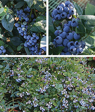 Blueberry, 90 Days Southern Collection , , large